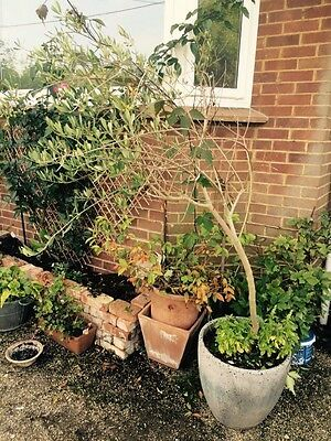Beautiful Large Olive Tree In Pot