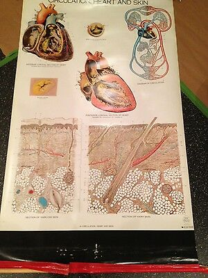 Vintage 1960's ? A.J. Nystrom Frohse Medical Anatomy Chart