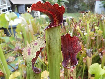 Pick your own cross of sarracenia carnivorous plant seeds G