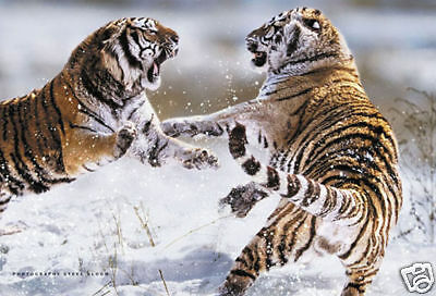 "SIBERIAN TIGERS POSTER ""LARGE 61cm X 91.5cm"" BRAND NEW ""LICENSED"""