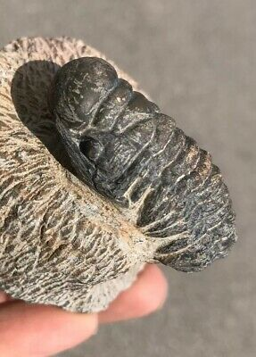 Trilobite Crotalocephalina approx 385 million Erfoud, Morocco, North Africa