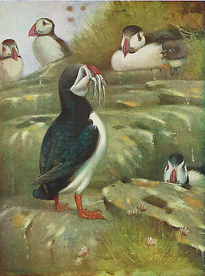 Puffins - 1930s Bird Print by A.W. Seaby #98