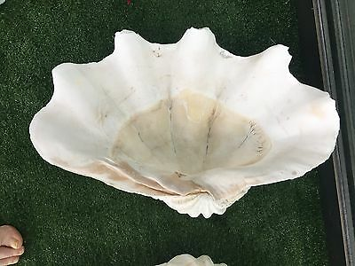 Giant Natural Clam Shell