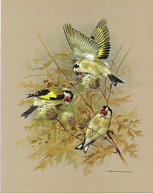 The Goldfinch - Vintage 1965 Bird Print by Basil Ede
