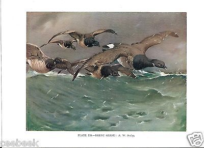 Brent Geese - 1930s Bird Print by A.W. Seaby