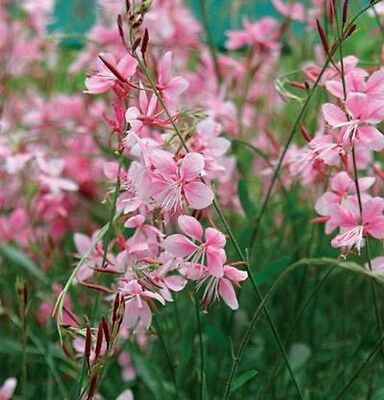 GAURA - PINK/WHITE EVERGREEN Cottage Perennial - Ready to Plant - Burwood 3125