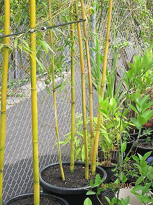 Bamboo China Gold 500mm pot 3m tall adv.division $180 locally grown feature.****