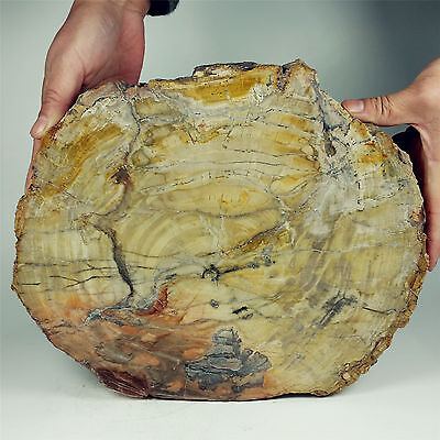 "11.10"" 3412g POLISHED PETRIFIED WOOD FOSSIL AGATE SLICE DISPLAY Madagascar A1242"