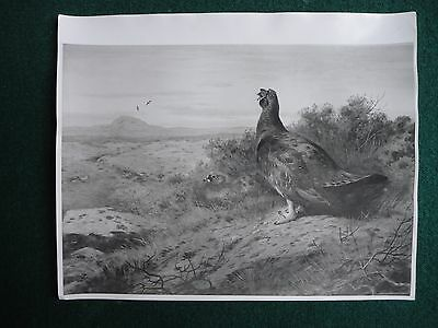 Copy Photo of a Painting for Queen Elizabeth II 1966 Royal Collection Pheasant