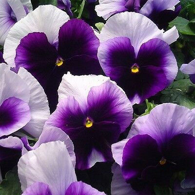 Pansy- Beaconsfield- (Viola x Wittrockiana)- 50 Seeds