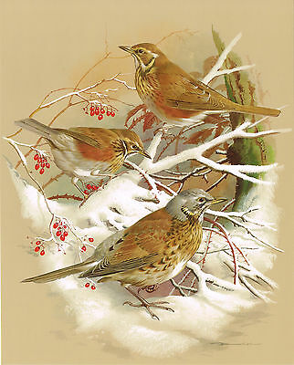The Redwing & The Fieldfare - Vintage 1965 Bird Print by Basil Ede