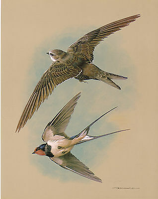 The Swift & The Swallow - Vintage 1965 Bird Print by Basil Ede