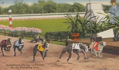 Postcard Greyhound Racing In Florida.  At The Finish Line