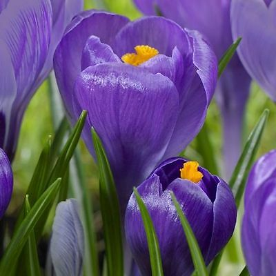 20 x  Crocus Remembrance. Easy to grow. Spring Flower bulbs