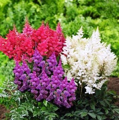 Astilbe - Mixed - Perennial - 500 Quality Flower Seeds - Large Value Pack
