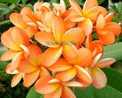 """""""country Curry"""" Fragrant Plumeria Cutting With Rooted 7-12"""" With Certification"""