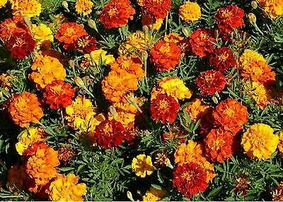 Marigold- French Sparky Mix- 100 Seeds