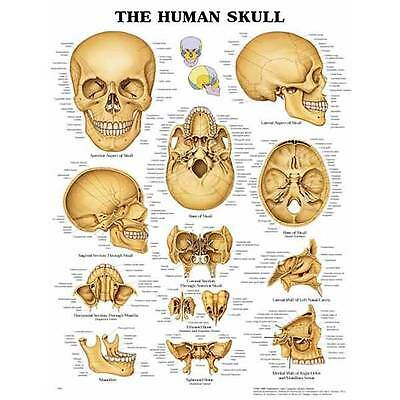 The Human Skull Anatomical Chart - 20 inches x 26 inches - Anatomically Accurate