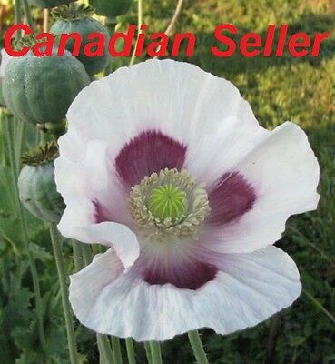 1000 Tasmanian Poppy Seeds, Commercially grown for Highest Alkaloid Content!!