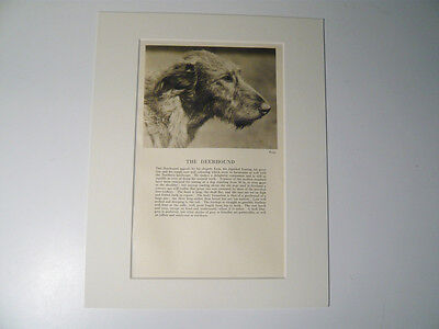 """Mounted 1931 Deerhound print 8"""" x 10"""" IDEAL GIFT Collectable"""
