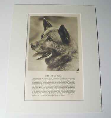 """Mounted 1931 ELKHOUND Dog print 8"""" x 10"""" IDEAL GIFT Collectable"""