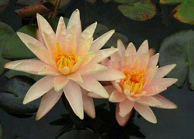 CLEARING SALE *White/Pink Tint * Hardy WATER LILY Plant * N.'Starbright'