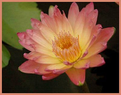 CLEARING SALE * Tropical Sunset  * Tropical WATER LILY Tuber *  N 'Golden Cup'