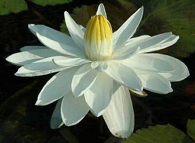 CLEARING SALE * White* Tropical Night Bloomer WATER LILY Tuber * N 'Missouri'