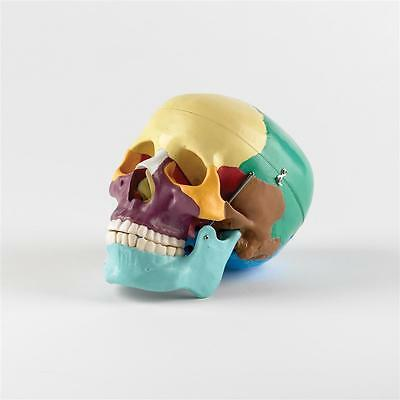 Life Size Model Skull with Coloured Bones