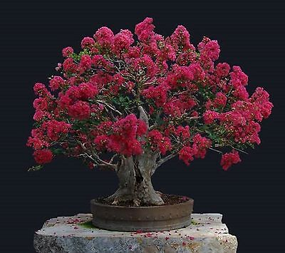 Bonsai Red Flowering Crepe Myrtle Seeds Lagerstroemia Indica Seed Indoor Pot