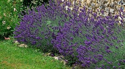 Lavender Hidcote Blue  over 200  seeds  Fragrant and Attracts Bees