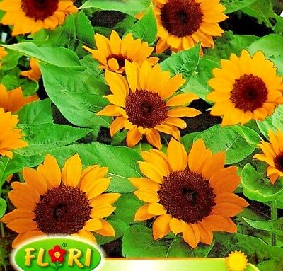 Orange Sunflower - Helianthus Annuus - 32 High Quality Flower Seeds /1238