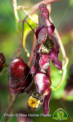 Aconitum hemsleyanum, 'Red Wine' seeds. Climbing Monkshood.