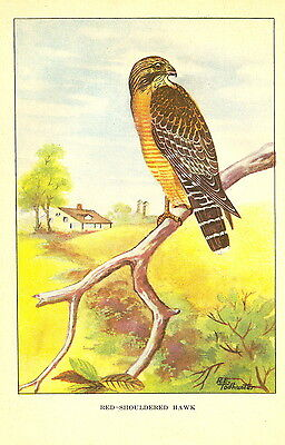 """1926 Vintage TODHUNTER BIRDS /""""SPARROW HAWK/"""" STUNNING 90 YEARS OLD Lithograph"""