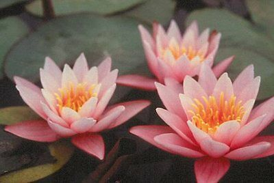 CLEARING SALE *Muskstick Pink* Hardy WATER LILY Plant * N.'Pink Sensation'
