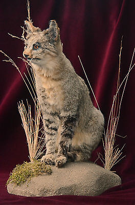 SALE African Wildcat taxidermy life size mount (with CITES)
