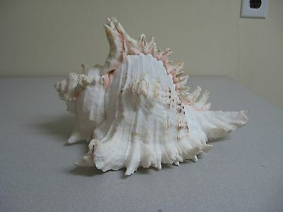 Conch Sea Shell Large Pink 2 1/2 Pounds Spiney