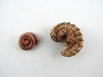 Tanzanian Millipede DUO (Pack of 2) A2 Taxidermy REAL Insect