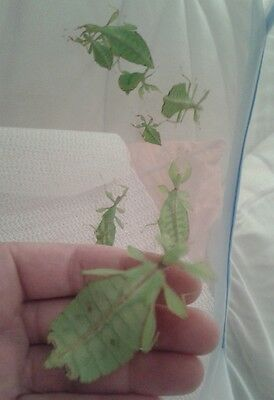 8 x Phyllium Phillippinicum Leaf  Insect Small Nymphs Unsexed + 2 FREE