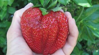 Giant Red Strawberry Seeds, Garden Fruit Plant,  Delicious
