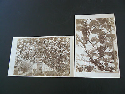 2 x Real Photo RP Postcards - Vinery & Grapes