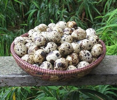 Ready to ship 50 (+2 spares) Blown Quail Eggs 1 Hole from Happy Free Range Quail