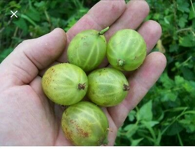 Gooseberry Plants X 5 Rare And Old Types Your Choice From 60 Varieties