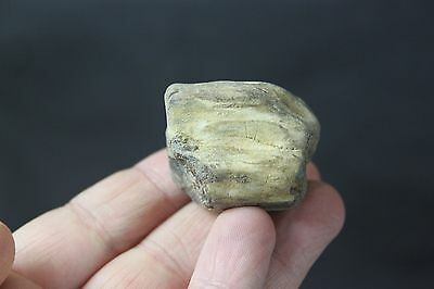Genuine age giant bison tooth fossil California USA    ;