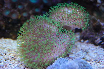 Marine Leather coral ,  2 headed green polyp toadstool , live coral