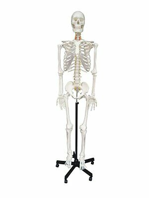 Wellden Medical Anatomical Human Skeleton 170cm Life Size Stand Included