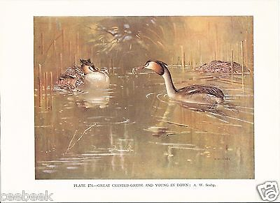 Great Crested Grebe and Young In Down - 1930s Bird Print by A.W. Seaby