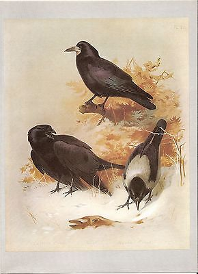 Rook, Carrion Crow & Hooded Crow - Bird Print by Archibald Thorburn #474907