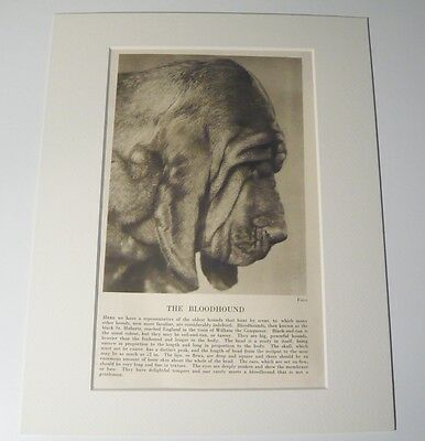 """Mounted 1931 BLOODHOUND dog print 8"""" x 10"""" IDEAL GIFT Collectable"""