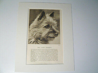 """Mounted 1931 Cairn Terrier dog print 8"""" x 10""""  IDEAL GIFT Collectable"""